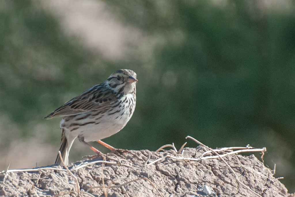 Savannah Sparrow, Belding's