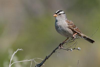 Sparrow, Junco. Towhee