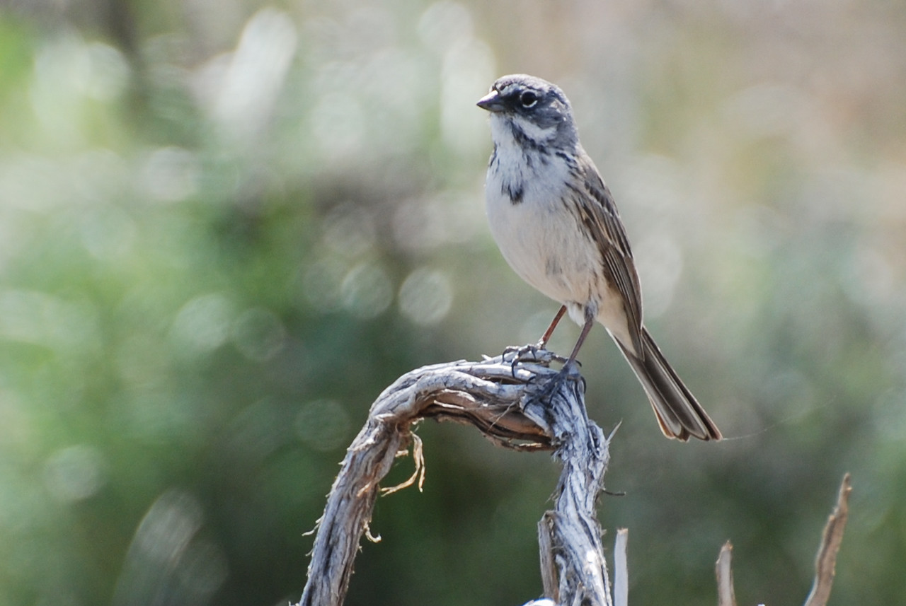 Sage Sparrow, Toppenish Creek