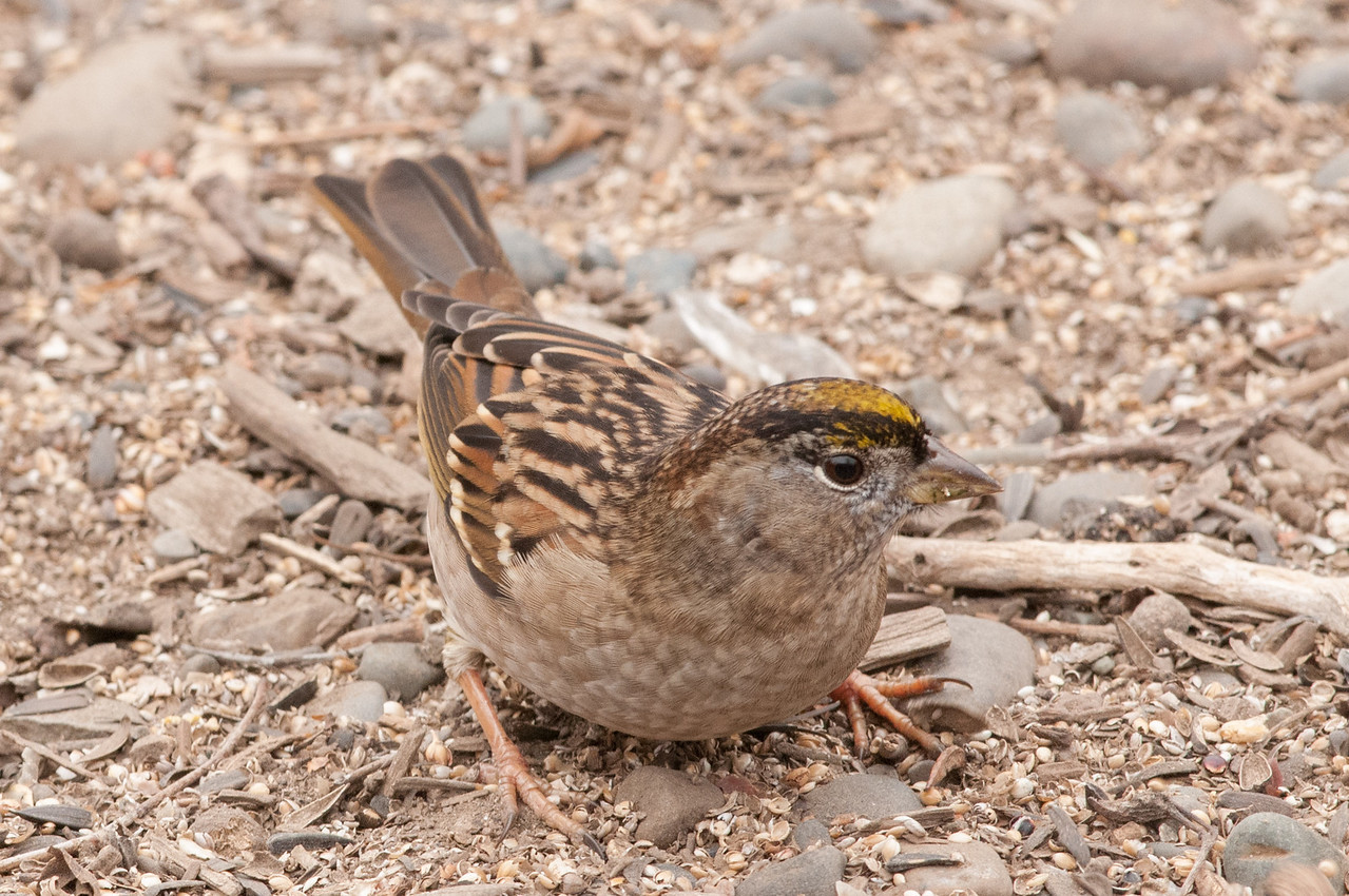 Gold Crowned Sparrow. winter