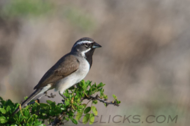 Black Throated Sparrow (b2101)
