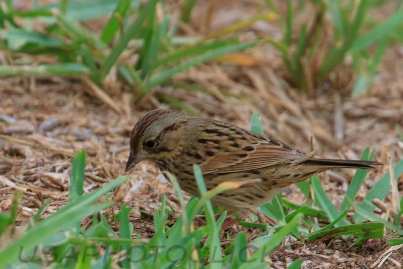 Lincoln's Sparrow (b2161)
