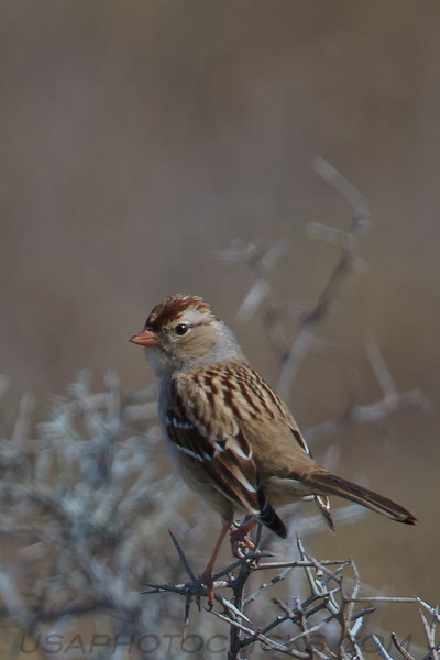 Chipping Sparrow (b2123)