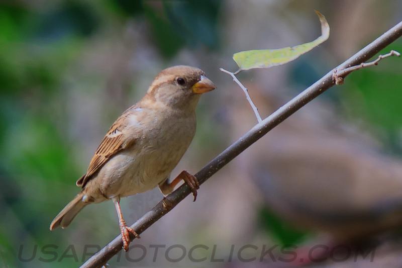 House Sparrow (b2142)
