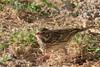 Vesper Sparrow (b2201)