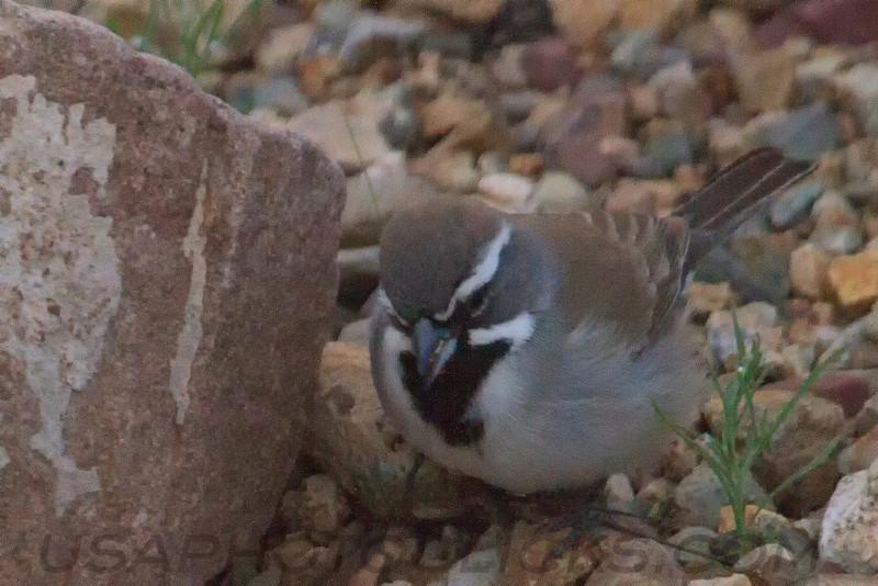 Black Throated Sparrow (b2104)