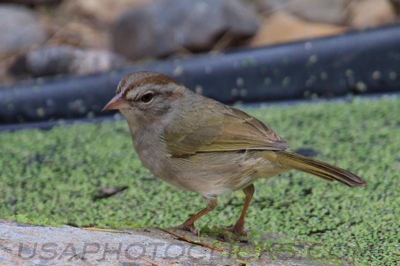 Ollive Sparrow (b2171)