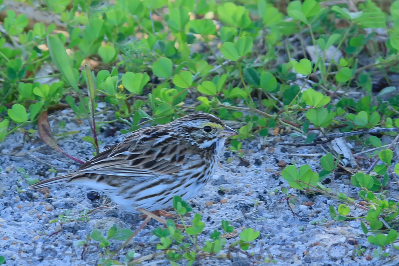 Savannah Sparrow (b2181)