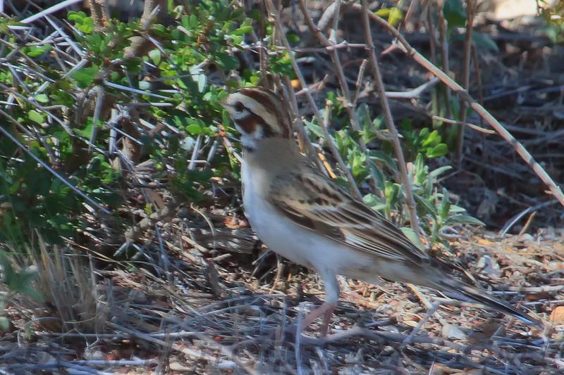 Lark Sparrow B2151)