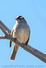 White Crowned Sparrow (b2212)