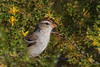 Chipping Sparrow (b2122)
