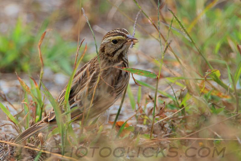 Savannah Sparrow (b2183)