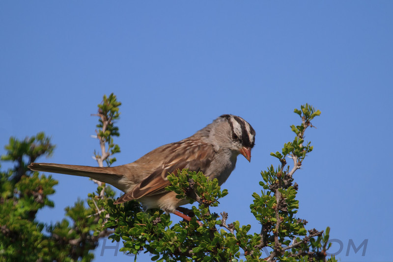 White Crowned Sparrow (b2211)