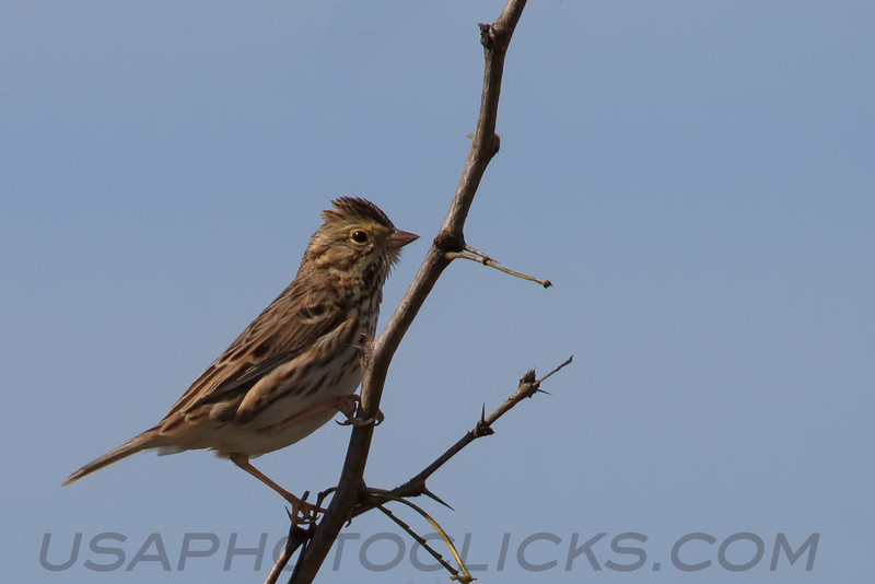 Savannah Sparrow (b2184)