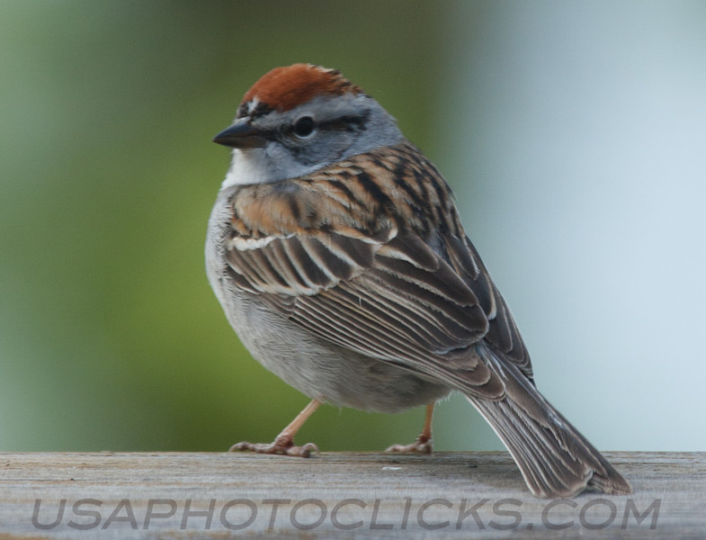 Chipping Sparrow (b2121)