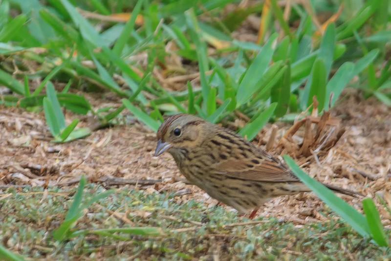 Lincoln's Sparrow (b2163)