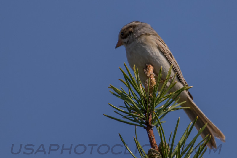 Clay Colored Sparrow (b0572)