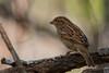 Cassin,s Sparrow (b2111)