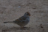 White Crowned Sparrow (b2215)