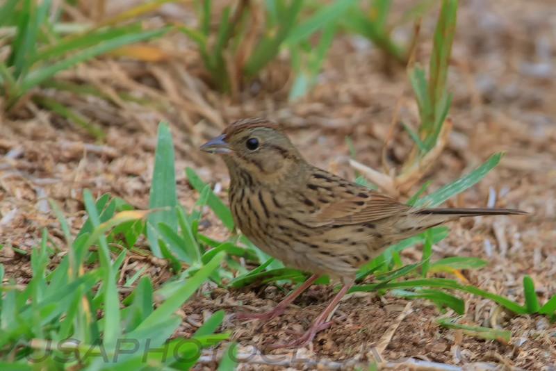 Lincoln's Sparrow (b2162)