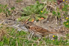 Song Sparrow (b2191)