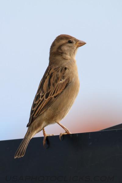 House Sparrow (b2141)