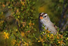 White Crowned Sparrow (b2214)