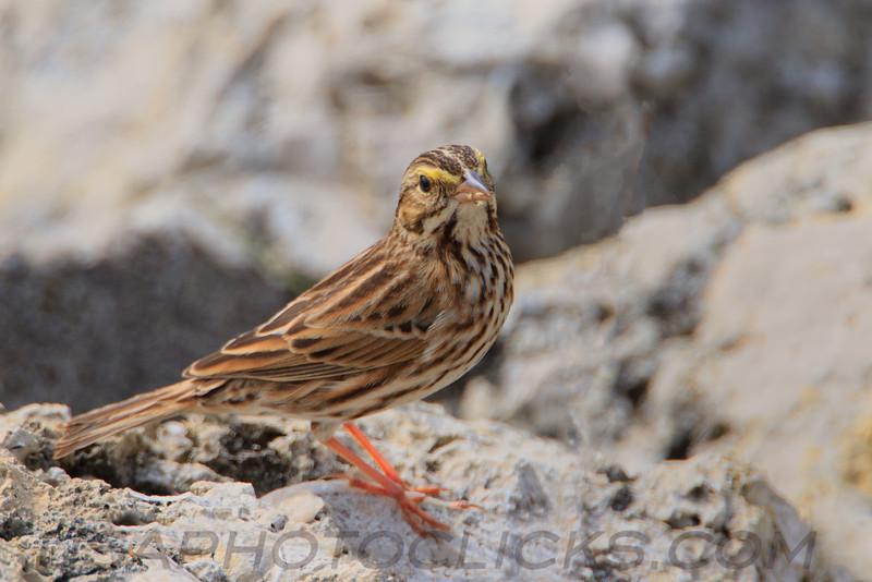 Savannah Sparrow (b2182)