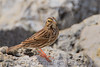 Savannah Sparrow (b2182)