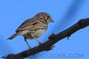 Vesper Sparrow (b2202)