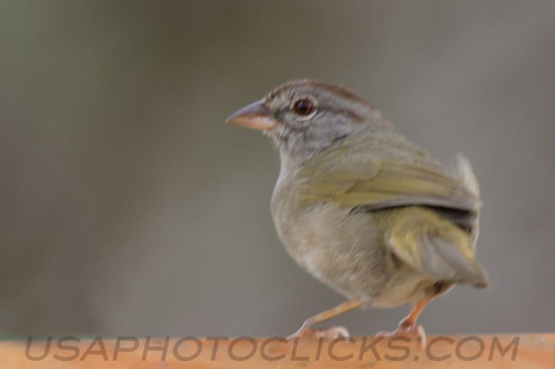 Ollive Sparrow (b2172)