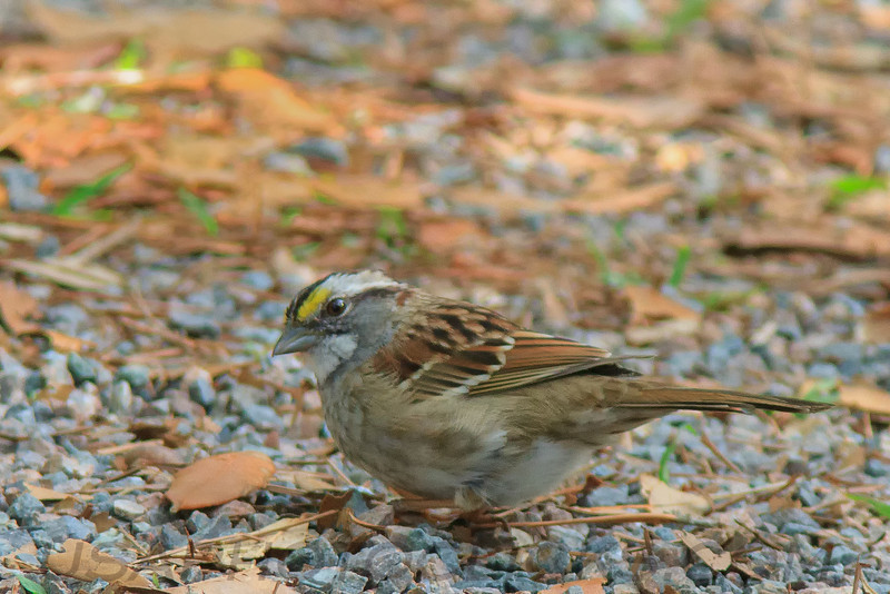 White Throated Sparrow (b2221)