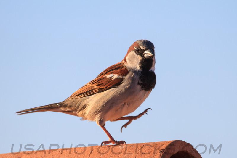 House Sparrow (b2143)