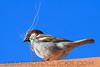 House Sparrow (b2144)