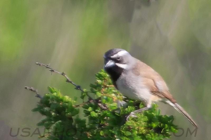 Black Throated Sparrow (b2103)