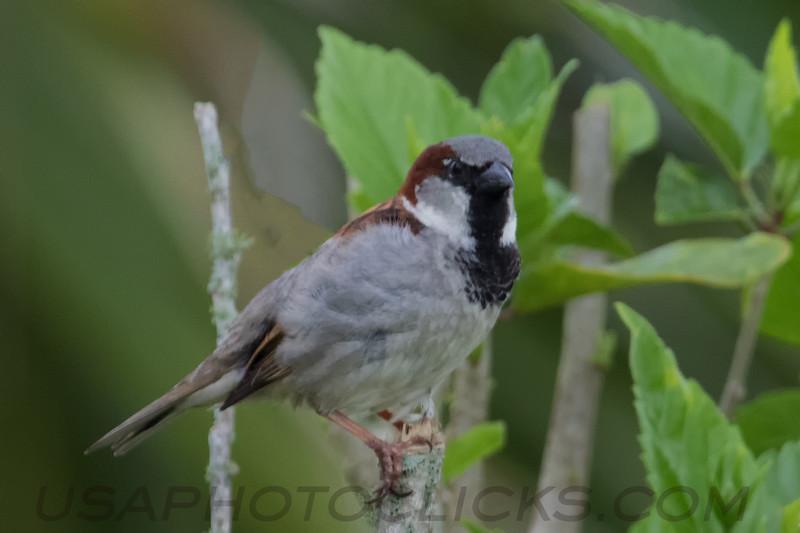 House Sparrow (b2146)