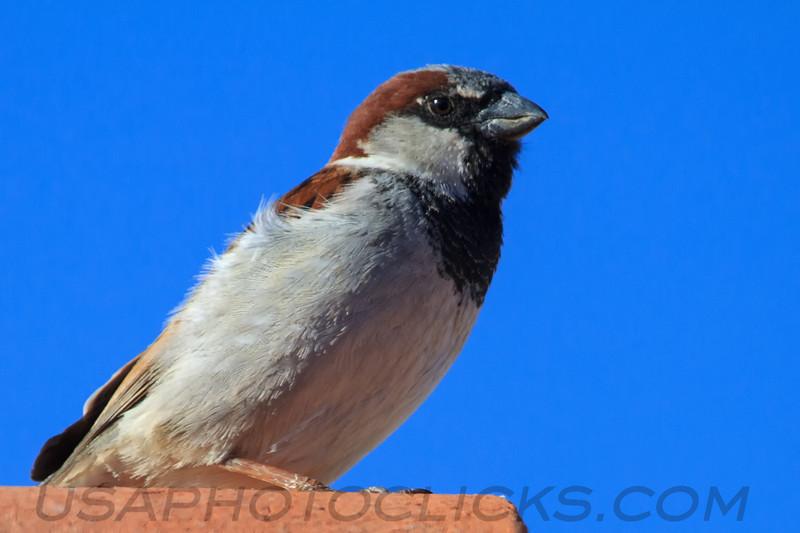House Sparrow (b2145)