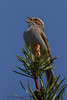 Clay Colored Sparrow (b0571)