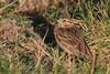 Grasshopper Sparow (b2131)