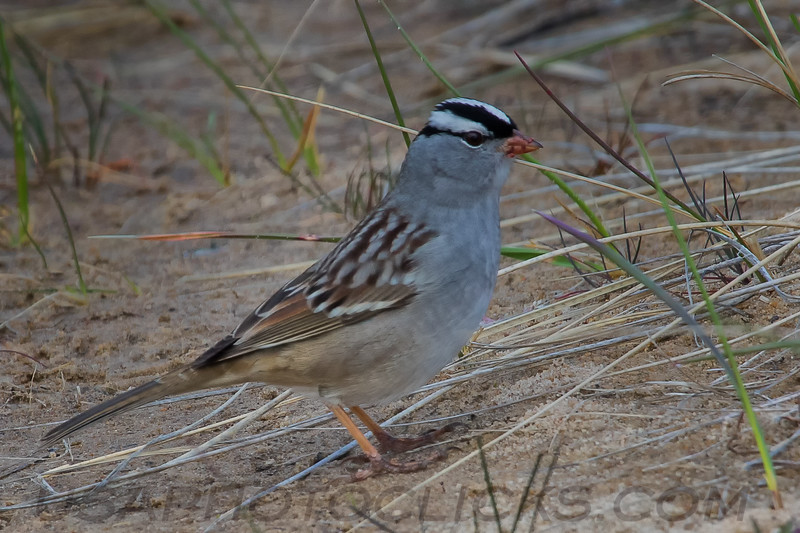 White Crowned Sparrow (b2216)