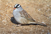 White Crowned Sparrow (b2213)