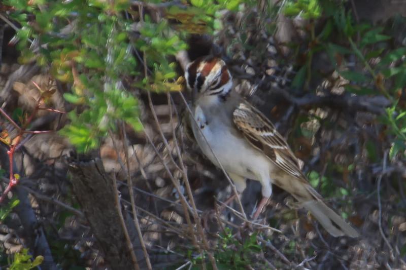 Lark Sparrow B2152)