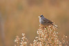 White-crowned Sparrow<br /> Bosque del Apache, NM