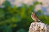 Savannah Sparrow<br /> Eastern Egg Rock, ME