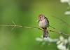 Field Sparrow<br /> Freeville, NY