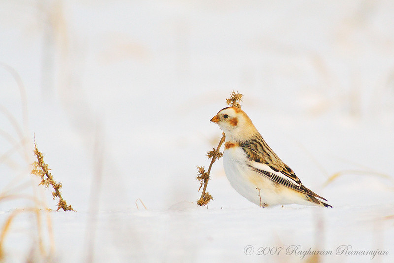 Snow Bunting<br /> Ithaca, NY
