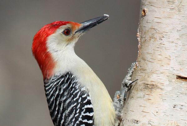 Woodpeckers, Mimics and Swallows