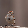 American Tree Sparrow @ Highbanks Metro Parks - Winter 2009