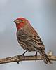 House Finch (Male) - Backyard, March 2011