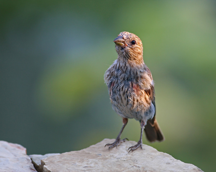 House Finch @ home - Aug 2012